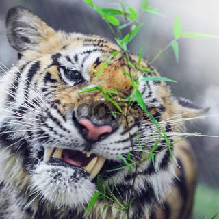 Bengal Tiger portrait