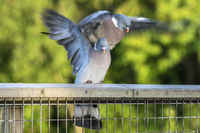 Two Wood Pigeons Mating