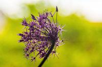 Sternkugel Lauch Allium-cristophii