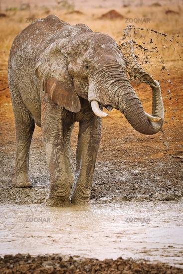 Großer Elefant mit Matsch im Kruger Nationalpark Südafrika; huge african elephant with mud, south africa, wildlife