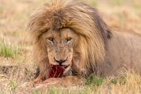 lion eating in the Kruger National Park South Africa