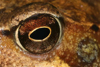 Grasfrosch, Auge