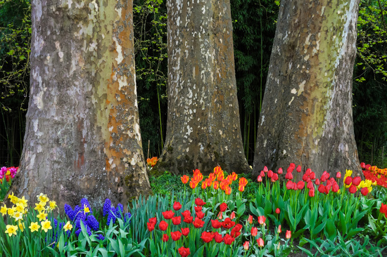 Tulips in front of three huge trees in Spring.