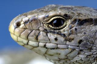 Sand Lizard / Zauneidechse