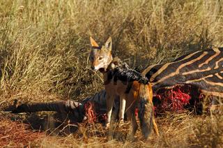 Schabrackenschakal an einem Zebra Kadaver