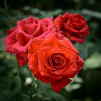 Rose plant with bright red flowers with water drops on petals