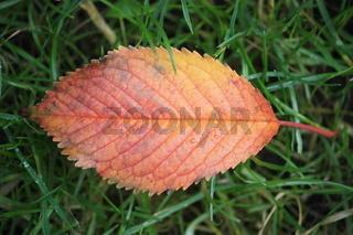 herbstblatt, rot