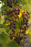 Rote Weintrauben hängen an einer Weinrebe