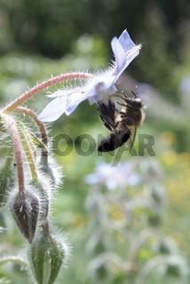 Biene an Borretschblüte