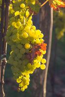Helle Weintrauben hängen an einem Rebstock