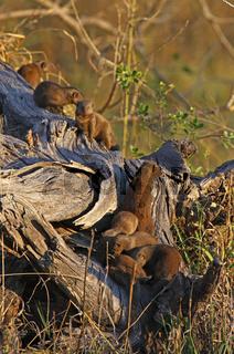 Mangusten im Chobe Nationalpark Botswana