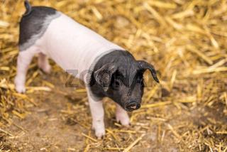 Baby pig of german breed