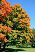 Colorful Maple Trees in Autumn
