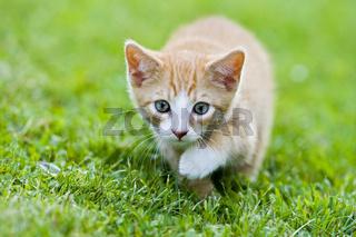 junges Europaeisch Kurzhaar Kaetzchen auf Wiese, European Shorthair kitten on a meadow