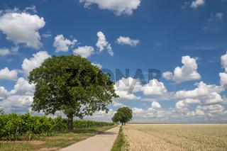 Walnussbäume (Juglans regia) und Wolkenhimmel