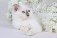 HEILIGE BIRMA KATZE, BIRMAKATZE, SACRET CAT OF BIRMA, BIRMAN CAT, BLUEPOINT, KITTEN,