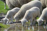 Herd of sheep drinking water