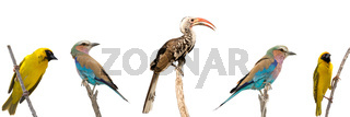 Set of five african birds, each sitting on a branch of tree isolated on white background.