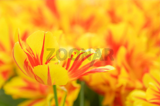 Yellow and red tulip in a flower bed