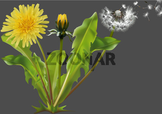 Common Dandelion Plant