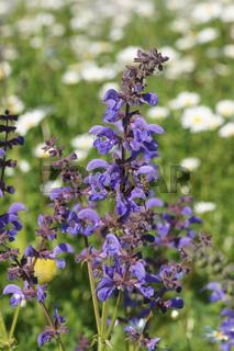 Salvia pratensis, Wiesensalbei, Meadow Sage, mit Biene, with bee