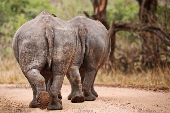 Rückansicht zweier gehender Breitmaulnashörner im Kruger Nationalpark, Südafrika, backs of two walking white rhinoceroses, South Africa