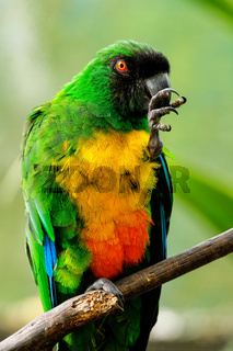 Sulphur-Breasted Musk-Parrot (Prosopeia personata)