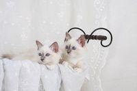 HEILIGE BIRMA KATZE, BIRMAKATZE, SACRED CAT OF BIRMA, BIRMAN CAT, WURF, IM PUPPENWAGEN,,
