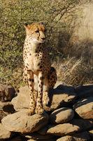 Namibia, Gepard, Cheetah