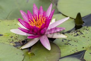 Nymphaea,seerose,wasserrose,Water-lilies,Nymphaea Newton,
