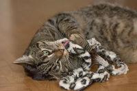 Ein grau getigerter Kater ist vertieft in sein Spiel mit einem Katzenspielzeug