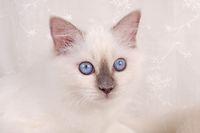 HEILIGE BIRMA KATZE, BIRMAKATZE, SACRED CAT OF BIRMA, BIRMAN CAT, KITTEN,