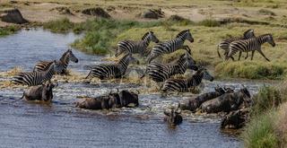 Zebraherde und Gnusherde, Flucht aus dem Wasser