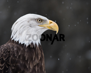 Bald Eagle in Snow II