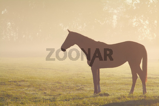 horse silhouette on misty pasture