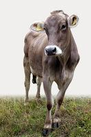 Fotogenes Rind auf der Weide