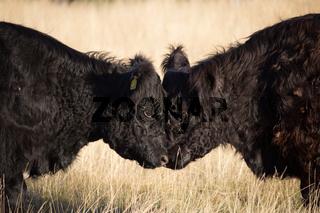 Powerful Headbutting Bulls in Richmond Park