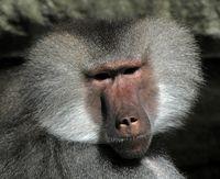 gesicht eines pavianmännchens