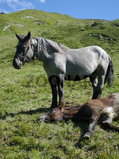 pferde in den alpen