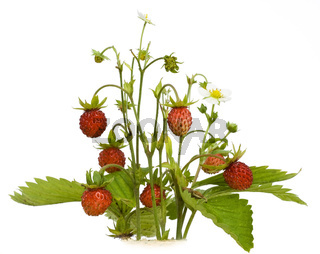 Isolated wood wild strawberry