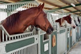 pferde in der stallung