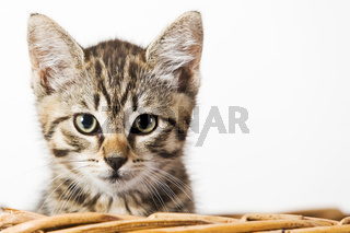 HHauskatze in einem Korb - house cat in a basket