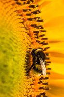 Eine Hummel läuft auf einer Sonnenblume