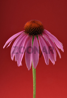 Purpur Sonnenhut auf rot - Purple coneflower on red background