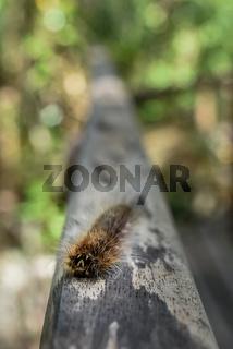 Hairy furry Gypsy Moth caterpillar.