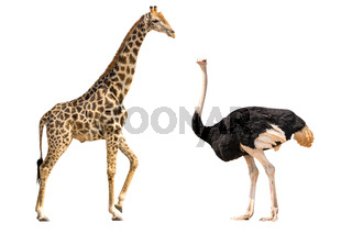Set of giraffe and ostrich portraits