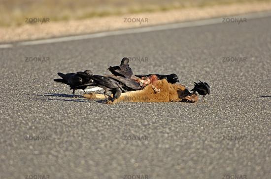 Krähen fressen überfahrenes Kängeruh, Northern Territory, Australien