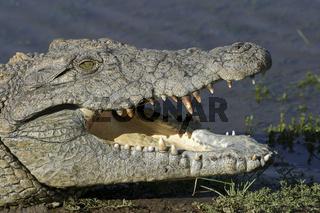Nilkrokodil (Crocodylus niloticus), Namibia, Afrika, Nile crocodile, Africa, Portrait