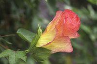 Baumwolle, Bluete, Cotton flowering
