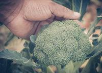 Broccoli in garden